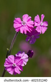 Red Campion on Skomer, Pembrokeshire