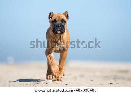 Red Cane Corso Puppy On Beach Stock Photo Edit Now 487030486