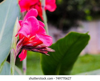 red canna flowers in garden. nature background.