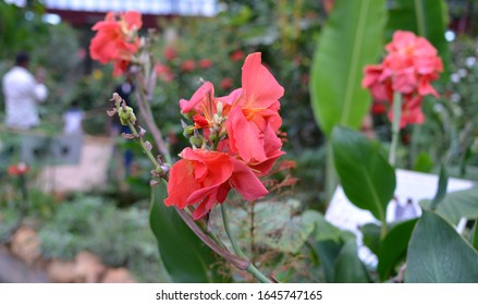 Red Canna Indica, Canna Lily, African arrowroot