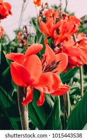 Red canna Lily , Cannas , Canna indica, Indian shot, Butsarana.