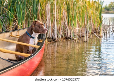 red canoe and pit bull terrier  watching something on the lake, fall scenery in Colorado