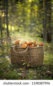 The red cap Boletus in the Basket