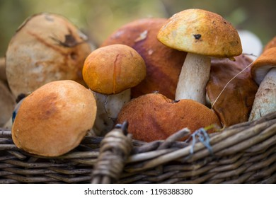 The red cap Boletus in Basket