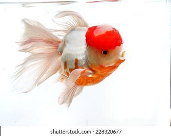 Red Cap Goldfish isolated on White Background