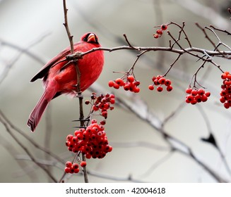 Red Cardinal and Red Berries in a Tree in Winter