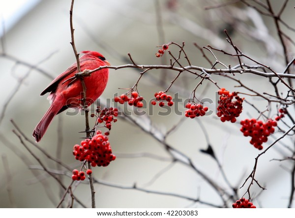 Red Cardinal Red Berries Tree Winter Stock Photo Edit Now 42203083