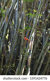 Red cardinal bird in trees in woodland