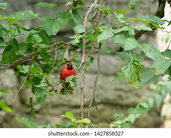 Red Cardinal Eating a Berry