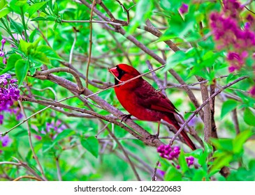 Red Cardinal Perched on Lilac Bush Branch in the spring.