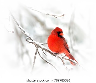 Red cardinal perched on snowy branch in the midst of winer storm.