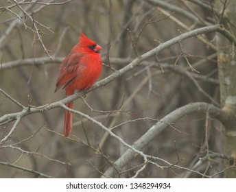 Red Cardinal sitting on tree branch