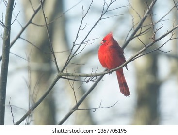 Red Cardinal sitting on tree branch and singing