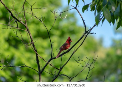 Red cardinal sitting in a tree