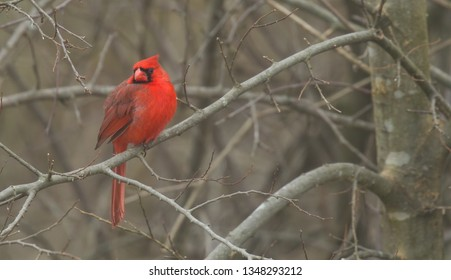 Red Cardinal in tree