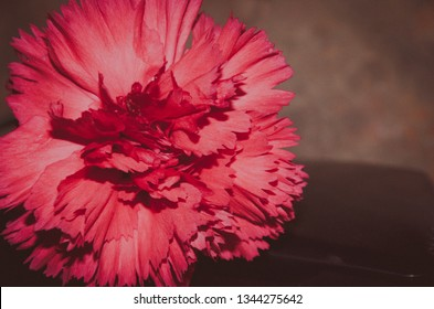 Red carnation Dianthus on blurred brown background