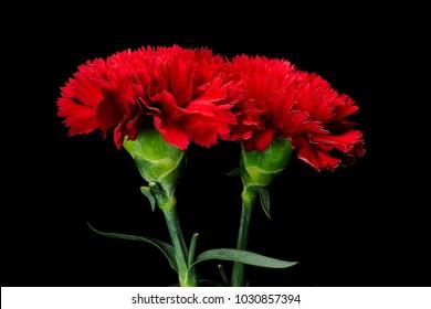 Red carnation flower. beautiful carnation flower  , Blooming  carnation flower on blackbackground.