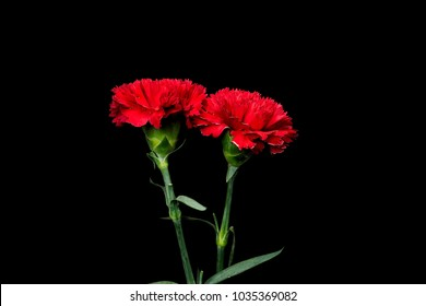 Red carnation flower. beautiful carnation flower  , Blooming  carnation flower on blackbackground.