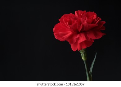Red Carnation on black with copy space.