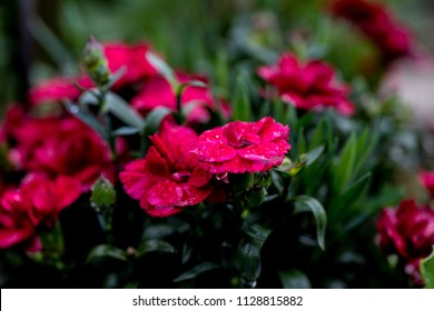 Red Carnation With Raindrops