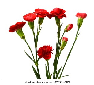 red carnations - Dianthus caryophyllus