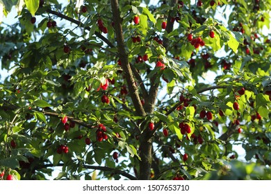 Red carnelian cherries or dogwood on a branch. On the branches are many berries of dogwood.