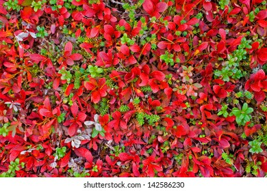 Red carpet of plants in Lapland