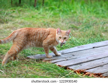 A red cat caught the mouse. Selective focus