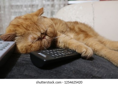 red cat exotic breed sleeping