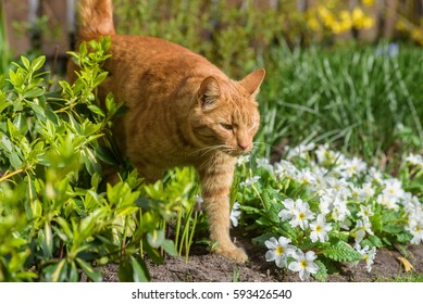 Red cat in flower bed at garden.