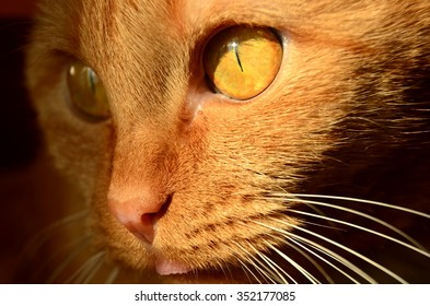 The red cat with gold eyes.