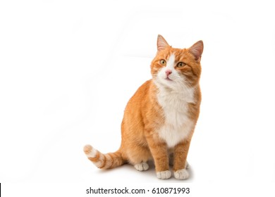 Red cat isolated on white background