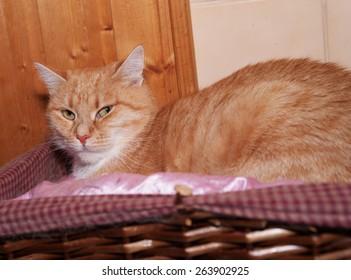 Red cat lies in wicker brown basket