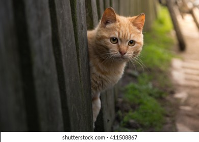 red cat looks out from behind a fence. summer sun Photo pet. Beautiful Red Cat with Yellow Eyes