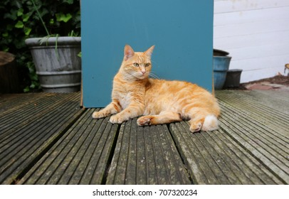 Red cat lying on the deck with contrasting blue background