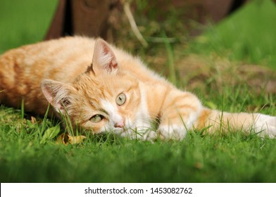red cat lying on meadow in the garden