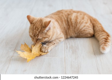 Red cat on floor playing with yellow leaf.