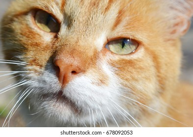 Red cat on sun close-up
