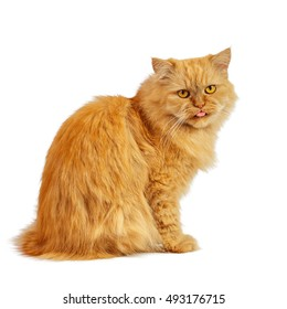 red cat on a white background tongue out