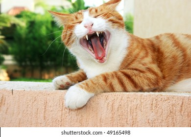 Red cat with open mouth.