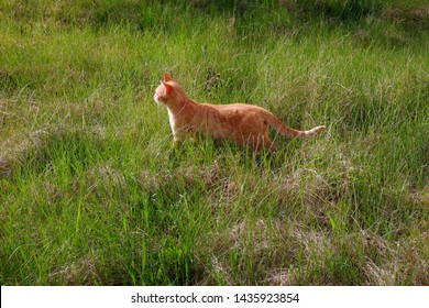 red cat outdoors, close up