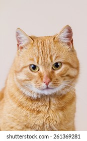 Red Cat  portrait  isolated on brown background