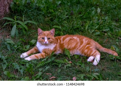 Red cat relaxing after dinner in a park, Zavidovo, Tver region, Russia