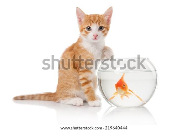 https://image.shutterstock.com/image-photo/red-cat-sitting-next-aquarium-600w-219640444.jpg