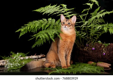 Red cat Somali in the fern