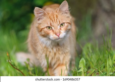 Red cat is standing in the green grass. Curious look. Summer or spring season. Selective focus on the eyes.
