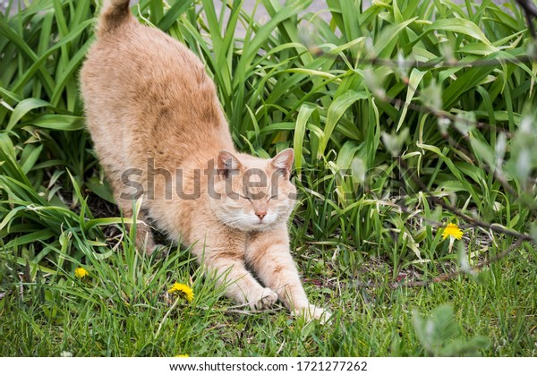 red-cat-stretches-green-grass-600w-17212