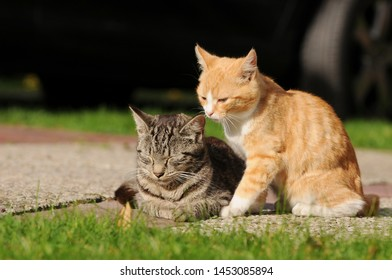 red cat and tabby cat in the garden