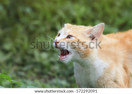 red cat threateningly opened mouth with big teeth