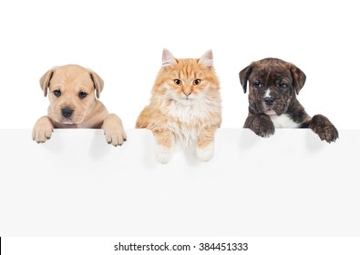 Red cat and two puppies hanging their paws over a white banner